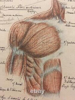 Drawing Original Anatomical Plank Corp Human Curiosity Before 1900 Ink Pencil