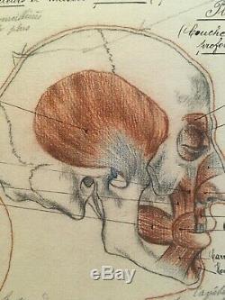 Original Drawing Board Human Anatomical Corp Curiosity Before 1900 Pen Ink
