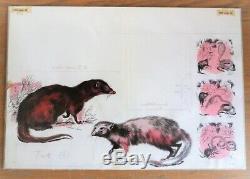 Planche Original dessins couleur aquarelle de RENÉ HAUSMAN La MANGOUSTE